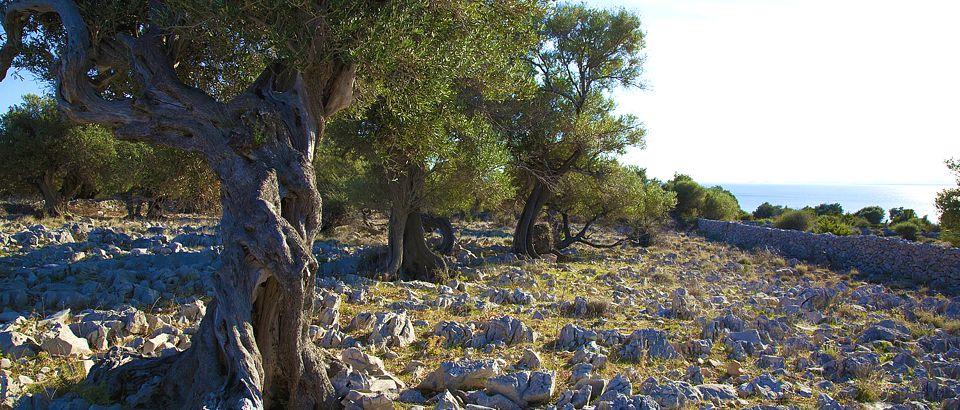 olive, Lun, Pag, attraction, oil, olives, Zadar, Croatia, www.zadarvillas.com